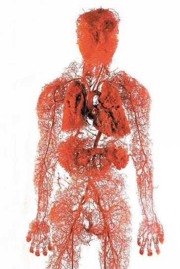 Image result for body worlds blood vessels
